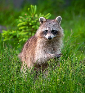 Raccoon (Procyon lotor)  Acadia National Park, Maine, USA.  -  George Sanker