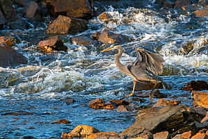 Great blue heron (Ardea herodias) looking for fish in river, Acadia National Park, Maine, USA. June.  -  George Sanker
