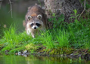 Raccoon (Procyon lotor) at waters edge,  Acadia National Park, Maine, USA. June.  -  George Sanker