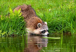 Raccoon (Procyon lotor) drinking from beaver pond.  Acadia National Park, Maine, USA. June.  -  George Sanker