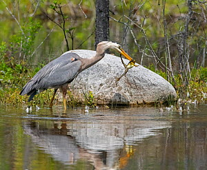 Great blue heron (Ardea herodias) catching Green frog (Lithobates clamitans) Acadia National Park, Maine, USA. June.  -  George Sanker