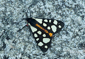 Cream spot tiger moth (Arctia villica) on rock, France, May.  -  Robert  Thompson