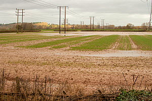 Damaged crops and standing water, River Lugg flood plain, caused by Storm Dennis, Mordiford, Herefordshire, England, UK. February 2020.  -  Will Watson