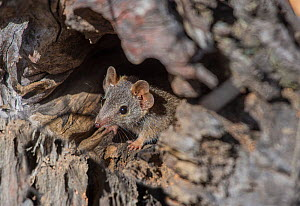 Yellow-footed antechinus (Antechinus flavipes leucogaster) peering out from its den, Wheatbelt Region, Western Australia.  -  Jiri Lochman