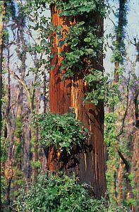 Severely burnt Eucalyptus tree re-sprouting from epicormic buds after major bushfire, between Omeo and Dargo, East Gippsland, Victoria, Australia. April 2007  -  Jiri Lochman