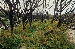 Severely burnt stand of Western Australian peppermint, or Willow myrtle (Agonis flexuosa) re-sprouting from lignotubers after major bushfire, West Cape Howe National Park, Western Australia. April 200...  -  Jiri Lochman