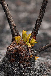 Close up of a severely burnt Red swamp banksia (Banksia occidentalis) re-sprouting from lignotuber immediately after bushfire, Walpole Nornalup National Park, Western Australia. February 2009.  -  Jiri Lochman