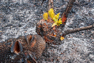 Severely burnt Red swamp banksia (Banksia occidentalis) re-sprouting from lignotuber immediately after bushfire, Walpole Nornalup National Park, Western Australia. February 2009.  -  Jiri Lochman