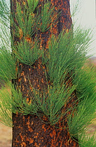 Severely burnt Rock sheoak (Allocasuarina huegeliana) re-sprouting from epicormic buds after major bushfire, Mount Cooke, Darling Range, Western Australia. April 2003.  -  Jiri Lochman