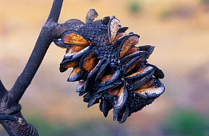 Red lantern banksia (Banksia caleyi), a pyrophile which opens its cones to release seeds only after a fire, Stirling Range National Park, Western Australia, October 2002.  -  Jiri Lochman
