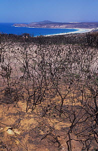 Proteaceous coastal heathland (an exclusive habitat of two critically endangered wildlife species) devastated by prescribed burn that went horribly wrong, Fitgerald River National Park, South East Coa...  -  Jiri Lochman