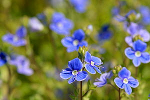 Germander speedwell (Veronica chamaedrys) clump flowering in a meadow, Suffolk, UK, May.  -  Nick Upton