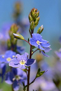 Germander speedwell (Veronica chamaedrys) clump flowering in a chalk grassland meadow,  Wiltshire, UK, May.  -  Nick Upton