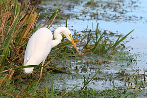 Great white egret (Egretta alba) hunting for fish in a drainage channel in pastureland, Tealham Moor, Somerset Levels, UK, November.  -  Nick Upton