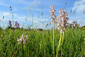 Green-winged orchid (Orchis / Anacamptis morio) clump, pale pink / white form with purple form in the background, Mellis Common, Suffolk, UK, May.  -  Nick Upton