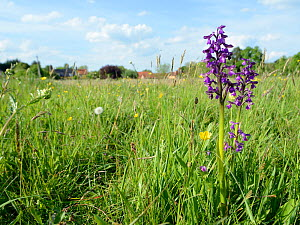 Green-winged orchid (Orchis / Anacamptis morio) purple form, with cottages in the background, Mellis Common, Suffolk, UK, May.  -  Nick Upton
