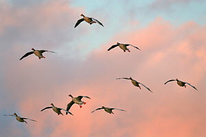 Greylag goose (Anser anser) flock in flight head on as they head for roost at dusk, Gloucestershire, UK, November.  -  Nick Upton