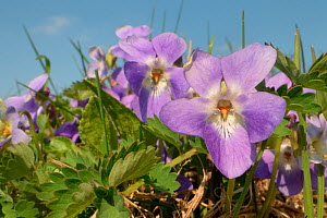 Hairy violet (Viola hirta) clump flowering in a chalk grassland meadow, Wiltshire, UK, March.  -  Nick Upton