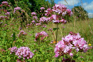 Wild marjoram (Origanum vulgare) clump flowering in a chalk grassland meadow, Wiltshire, UK, July.  -  Nick Upton