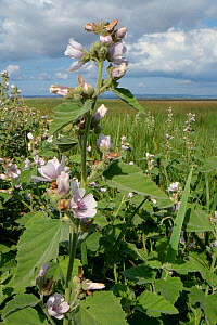 Marsh mallow (Malvus officinalis), a scarce plant of brackish wetland habitats in the UK, flowering at the margins of a saltmarsh, Landimore Marsh, The Gower, Wales, UK, August.  -  Nick Upton