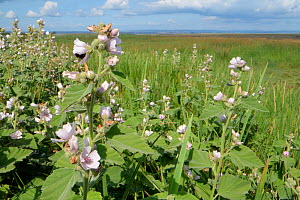 Stand of Marsh mallow (Malvus officinalis), a scarce plant of brackish wetland habitats in the UK, flowering at the margins of a saltmarsh, Landimore Marsh, The Gower, Wales, UK, August.  -  Nick Upton