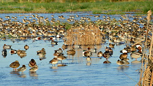 Dense mixed flock of Common Teal (Anas crecca) and Wigeon (Anas penelope), Northern shoveler (Anas clypeata), Mallard (Anas platyrhynchos) and Gadwall (Anas strepera) standing and swimming on partiall...  -  Nick Upton