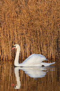 Mute swan (Anas clypeata) cob reflected in calm water as it swims past a dense stand of Common reeds (Phragmites australis) in flooded marshland, RSPB Ham Wall reserve, Somerset Levels, UK, December.  -  Nick Upton