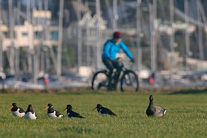 Cyclist passing a group of Oystercatchers (Haematopus ostralegus) and a Brent goose (Branta bernicla) resting on damp grassland in a harbourside urban park, Poole, Dorset, UK, December.  -  Nick Upton