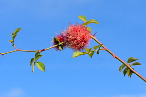 Robin's pincushion gall on Dog rose (Rosa canina) stem caused by the Bedeguar gall wasp (Diplolepis rosae), Wiltshire, UK, September.  -  Nick Upton