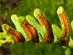 Common polypody (Polypodium vulgare) fern frond with maturing sporangia under its leaves in damp woodland, Lower Woods, Gloucestershire, UK, October.  -  Nick Upton