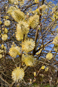 Pussy willow / Goat willow (Salix caprea) tree flowering, with mass of male catkins, Cornwall, UK, March  -  Nick Upton