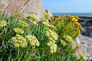 Rock samphire / Sea Fennel (Crithmum maritimum) and Golden samphire (Inula crithmoides) clumps flowering among coastal rocks above the high tide line, Rhossili, The Gower, Wales, UK, August.  -  Nick Upton