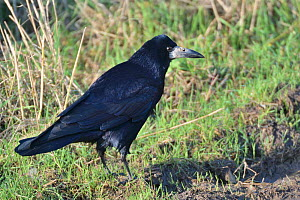 Rook (Corvus frugilegus) foraging on farmland track, Gloucestershire, UK, December.  -  Nick Upton