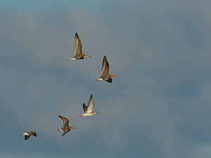 Small flock of Ruff (Philomachus / Calidris pugnax) in flight overhead, Gloucestershire, UK, November.  -  Nick Upton