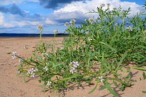 Sea rocket (Cakile maritima) clump with pale pink flowers high on a sandy beach on low sand dunes, Whiteford Sands, the Gower, Wales, UK, August.  -  Nick Upton