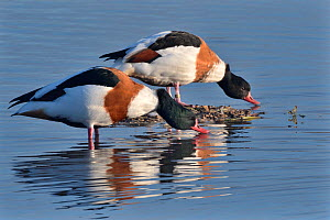 Common shelduck pair (Tadorna tadorna) standing and drinking in the margins of a shallow lake, Gloucestershire, UK, November.  -  Nick Upton