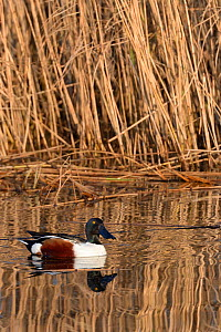 Northern shoveler drake (Anas clypeata) reflected in calm water as it swims past a dense stand of Common reeds (Phragmites australis) in flooded marshland, RSPB Ham Wall reserve, Somerset Levels, UK,...  -  Nick Upton