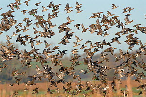 Dense flock of Common teal (Anas crecca), Wigeon (Anas penelope) and a few Northern shoveler (Anas clypeata) flying over flooded marshes in winter, RSPB Greylake Nature Reserve, Somerset Levels, UK, D...  -  Nick Upton