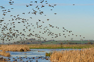 Dense flock of Common teal (Anas crecca) with a few Wigeon (Anas penelope) and Northern shoveler (Anas clypeata) in flight over others resting on partly frozen flooded marshes, RSPB Greylake Nature Re...  -  Nick Upton