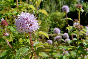 Water mint (Mentha aquatica) flowering in a garden pond, Wiltshire, UK, September.  -  Nick Upton