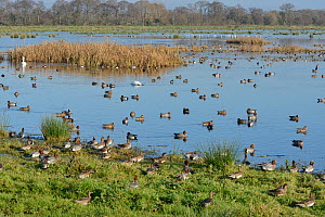 Wigeon (Anas penelope) flock and other wildfowl on flooded marshy pastureland in winter sunshine, Catcott Lows National Nature Reserve, Somerset Levels, UK, December.  -  Nick Upton