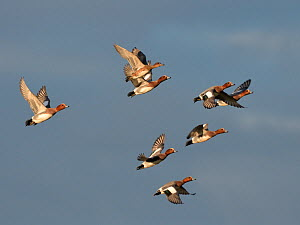 Wigeon (Anas penelope) seven drakes and one duck in flight overhead, Severn Estuary, Gloucestershire, UK, December.  -  Nick Upton
