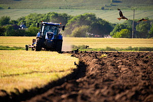 Red kites (Milvus milvus) following the plough with corvids, Pewsey Vale, Wiltshire, UK, May.  -  TJ Rich