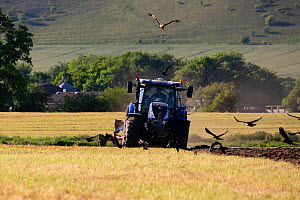 Red kites (Milvus milvus) following the plough with Corvids (Corvus sp.) Pewsey Vale, Wiltshire, UK, May.  -  TJ Rich
