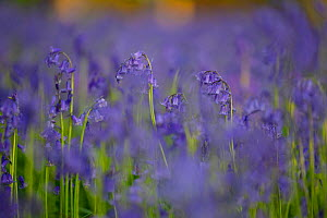 Bluebells (Hyacinthoides non-scripta) in woodland copse, Wiltshire, UK, April  -  TJ Rich