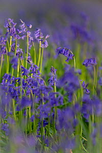 Bluebells (Hyacinthoides non-scripta) in flower, Wiltshire, UK, April  -  TJ Rich