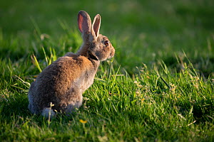 Rabbit (Oryctolagus cunniculus) juvenile at sunset, Wiltshire, UK. May.  -  TJ Rich