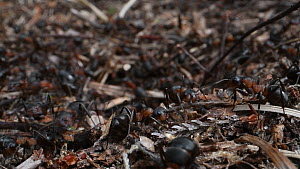 Close-up of Wood ant (Formica rufa) workers at their nest entrance, some bringing out small sticks, Dorset, England, UK, July.  -  Nick Upton
