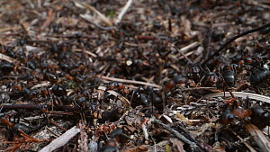 Close-up of Wood ant (Formica rufa) workers entering and exiting nest, Dorset, England, UK, July.  -  Nick Upton