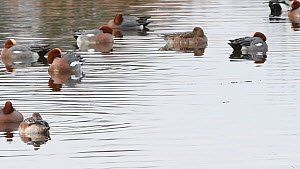 Panning shot of a flock of European wigeon (Anas penelope) preening and sleeping on wetland in winter, Gloucestershire, England, UK, February.  -  Nick Upton